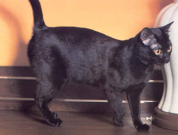 Бомбейская кошка, порода короткошерстных кошек. Выведена в США в 1950