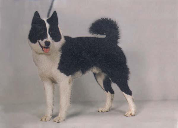 Pets Inform - Породы собак - Русско-европейская лайка - фото.