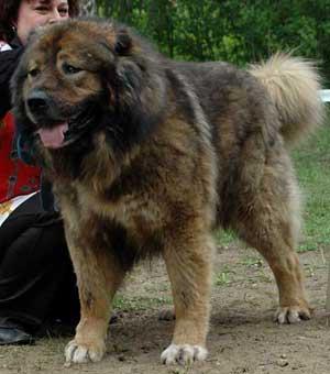 Кавказская овчарка -порода, ведущая свое происхождение от древних собак...